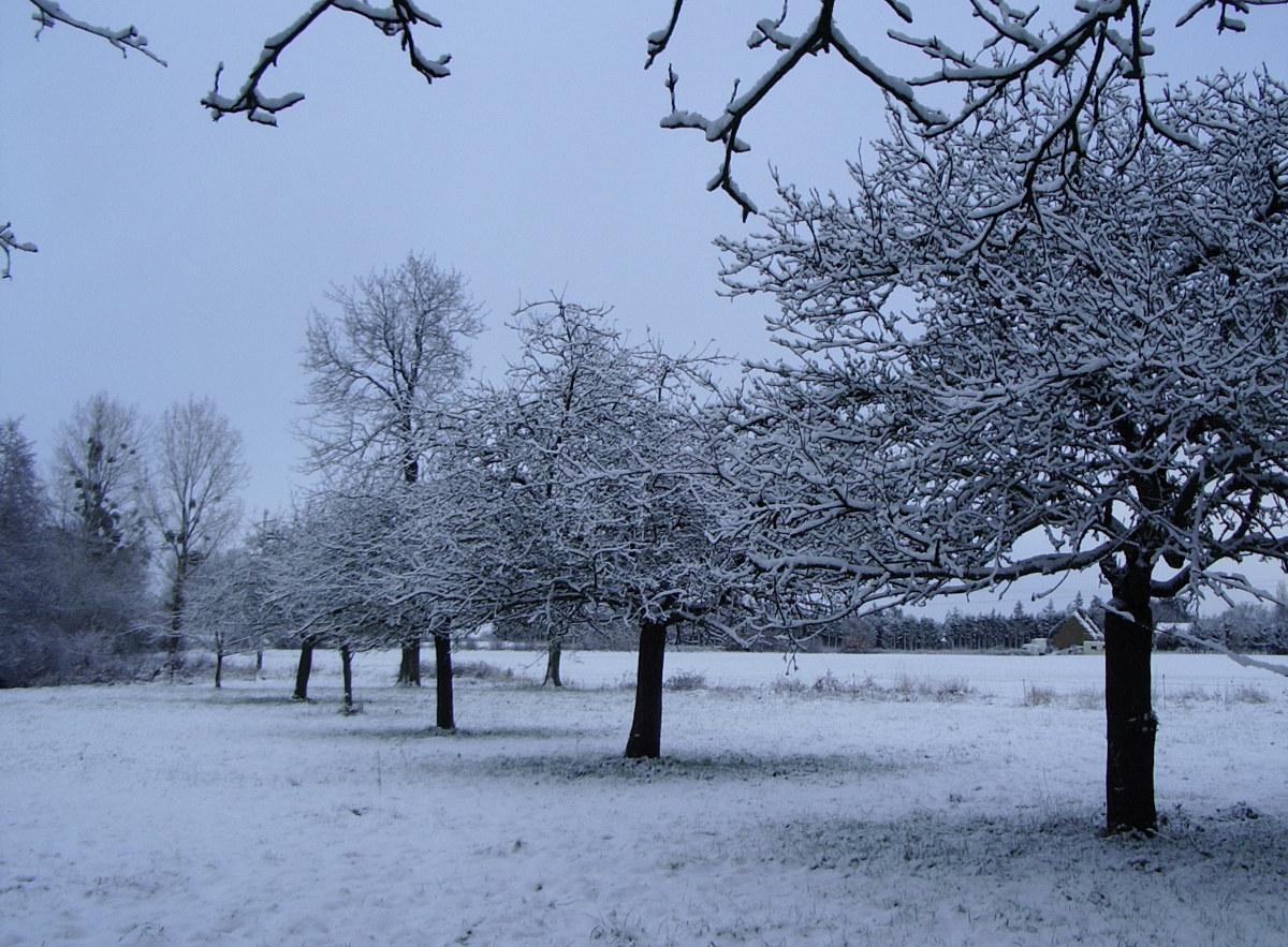 Pommiers sous la neige près de Saint Malo