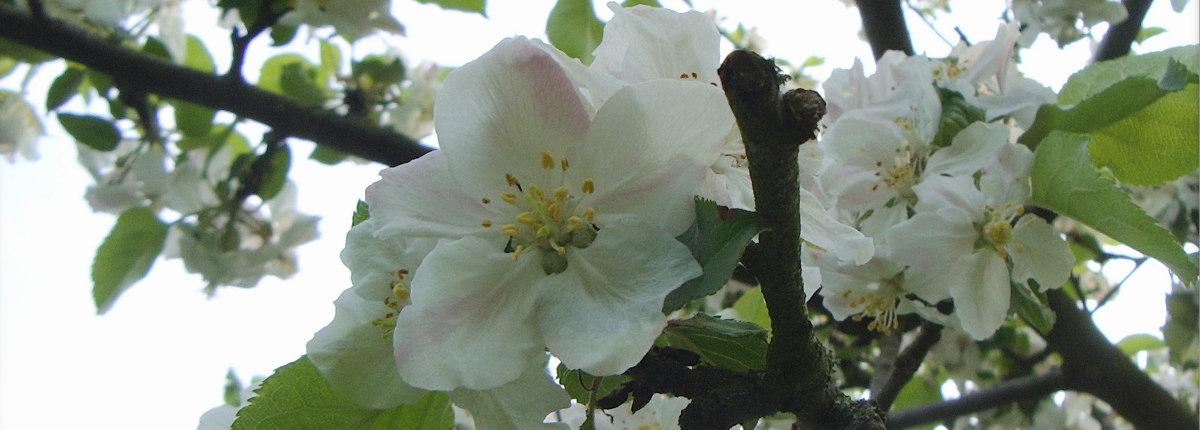 pommiers en fleurs à Pleugueneuc (35)